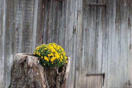 tree stump growing out yellow flowers with wooden wall in background Stock Photo