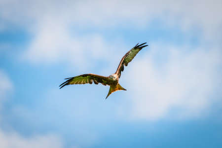 of prey: beautiful majestic red kite bird with openend wings hunts for prey Stock Photo