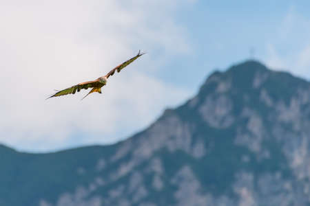 huge majestic red kite bird flying high over mountains with opened wings
