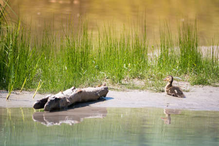 baby duck sitting on sand bank of river with grass and wood piece Stock Photo