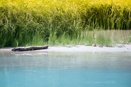 nature scenery with baby ducks on sandbank with grass of river