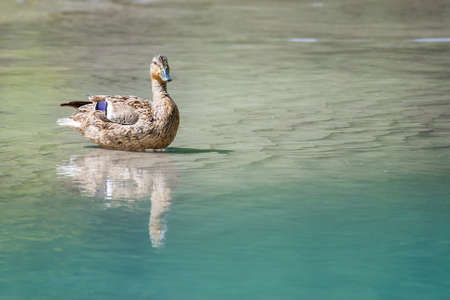 majestic female duck with reflection on clear river water Stock Photo