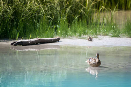 waits: mother duck sits in water while baby waits in grass on sandbank Stock Photo