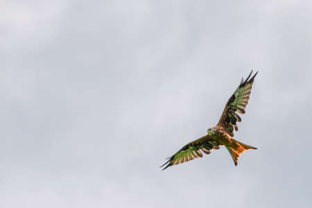 big red kite bird with huge wings flying high up in the sky Stock Photo