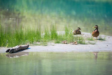 Duck family with babies at river with grass water and wood Stock Photo