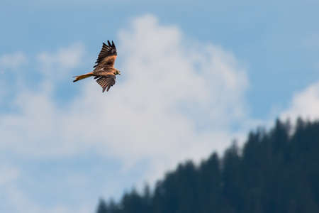 red kite bird flies hight above over forest and blue sky