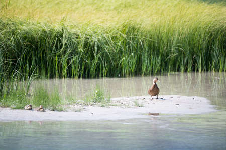mother duck with baby ducks on sandbank before lake grass Stock Photo