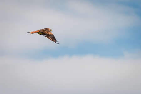 side view of red kite bird flying with blue cloudy sky