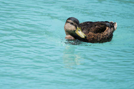 duck swimming on waves of blue cyan river water Stock Photo