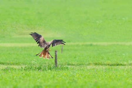 Common buzzard landing on wooden pole in green meadow