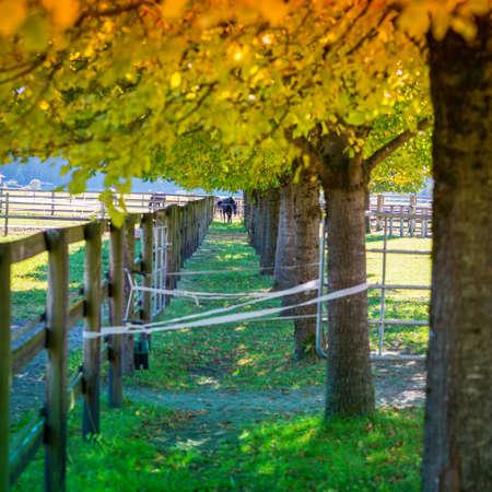golden and green trees at horse paddock at fall