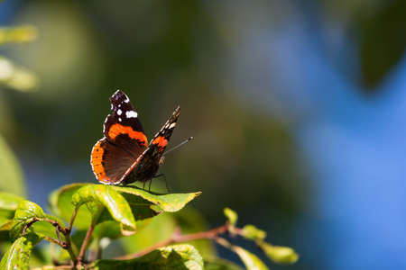 Vanessa atalanta butterfly with black orange wings sitting on green leaf Stock Photo