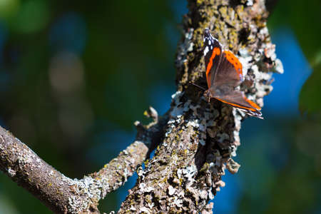 Vanessa atalanta butterfly on old damson branch