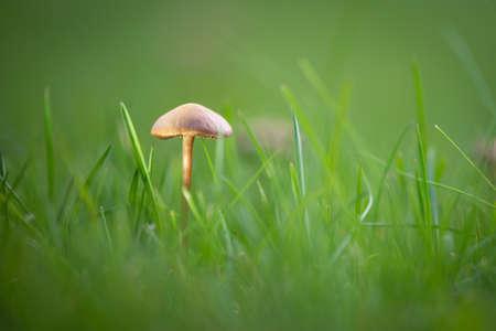 single marasmius oreades mushroom in soft light at green garden