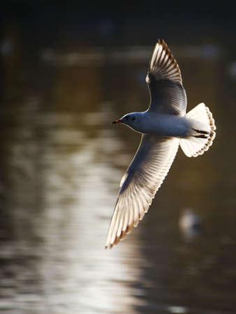 Seagull in the water Фото со стока