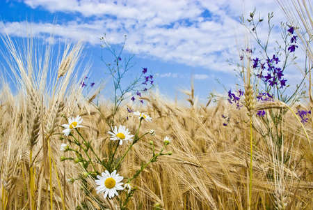 agrar: The field of cereal against a background of blue sky