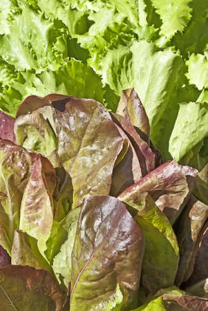 folate: Leaves of salad in sunny day
