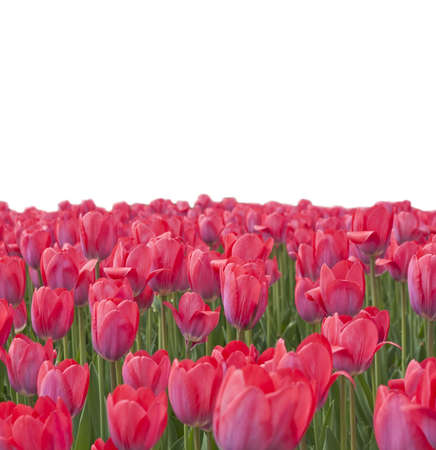The field of pink tulips on white background photo