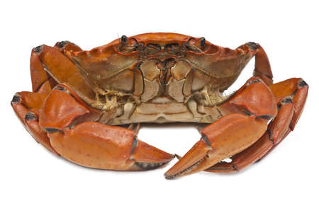 Crab prepared on white background photo