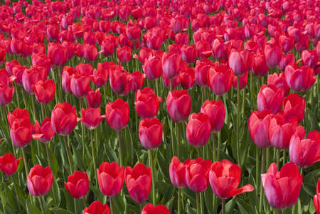 The field of pink tulips photo