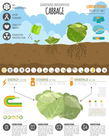 gardening work: Gardening work, farming infographic. Cabbage. Graphic template. Flat style design. Vector illustration