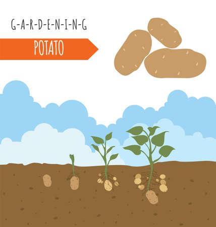 gardening work: Gardening work, farming infographic. Potato. Graphic template. Flat style design. Vector illustration Illustration