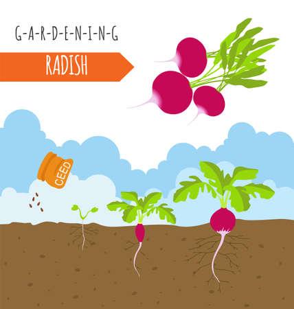 gardening work: Gardening work, farming infographic. Radish. Graphic template. Flat style design. Vector illustration