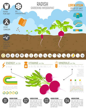 radish: Gardening work, farming infographic. Radish. Graphic template. Flat style design. Vector illustration