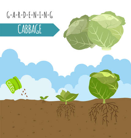 Gartenarbeit, Landwirtschaft Infografik. Kohl. Grafik-Vorlage. Wohnung Stil Design. Vektor-Illustration Vektorgrafik