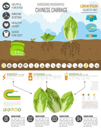 gardening work: Gardening work, farming infographic. Chinese cabbage. Graphic template. Flat style design. Vector illustration