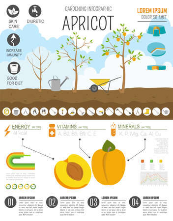 gardening work: Gardening work, farming infographic. Apricot. Graphic template. Flat style design. Vector illustration