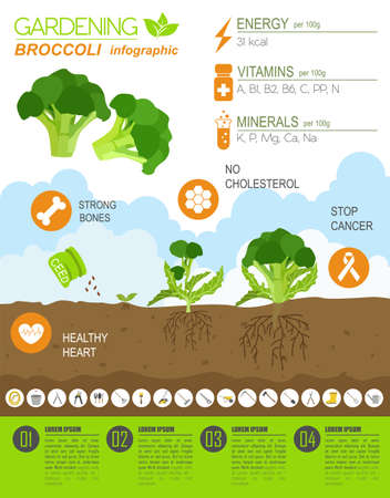 spring bed: Gardening work, farming infographic. Broccoli. Graphic template. Flat style design. Vector illustration