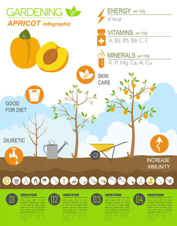 apricot tree: Gardening work, farming infographic. Apricot. Graphic template. Flat style design. Vector illustration