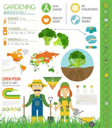gardening work: Gardening work, farming infographic. Broccoli. Graphic template. Flat style design. Vector illustration