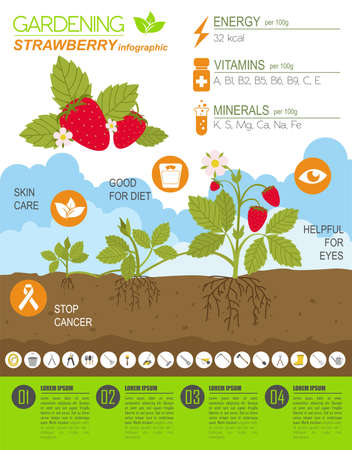 spring bed: Gardening work, farming infographic. Strawberry. Graphic template. Flat style design. Vector illustration