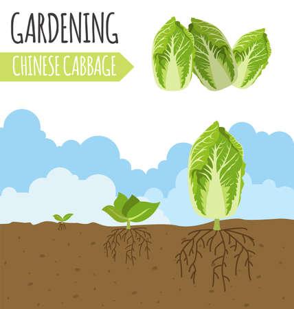 crecimiento planta: Jardín. Col china. Crecimiento de la planta. ilustración vectorial Vectores