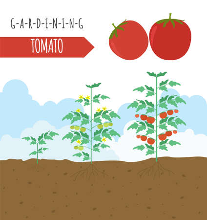 seed bed: Gardening work, farming infographic. Tomato. Graphic template. Flat style design. Vector illustration