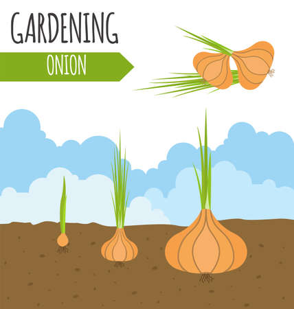 plant growth: Garden. Onion. Plant growth. Vector illustration