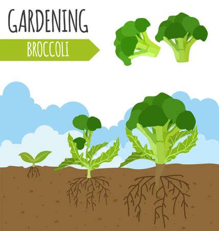 Garden. Broccoli. Plant growth. Vector illustration