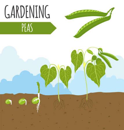 crecimiento planta: Jardín. Chícharos. Crecimiento de la planta. ilustración vectorial Vectores