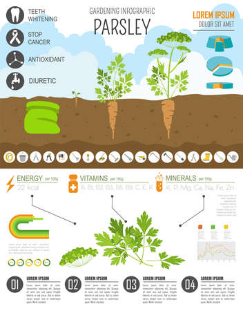 spring bed: Gardening work, farming infographic. Parsley. Graphic template. Flat style design. Vector illustration