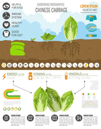 pruner: Gardening work, farming infographic. Chinese cabbage. Graphic template. Flat style design. Vector illustration