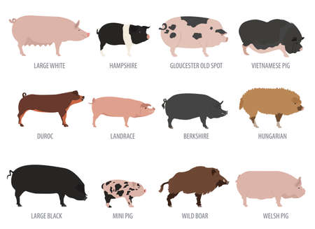 domestic animals: Pigs, hogs breed icon set. Flat design. Vector illustration