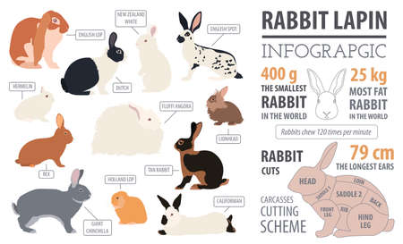 lionhead: Rabbit, lapin breed infographic template. Flat design. Vector illustration