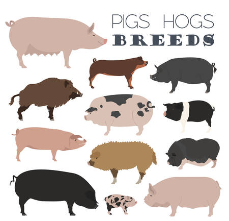 sow: Pigs, hogs breed icon set. Flat design. Vector illustration