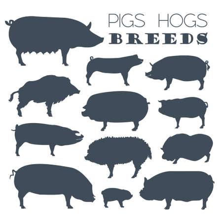 pet breeding: Pigs, hogs breed icon set. Flat design. Vector illustration