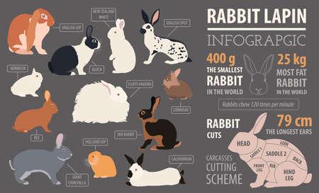 hermelin: Rabbit, lapin breed infographic template. Flat design. Vector illustration
