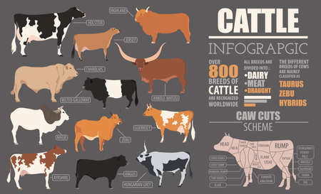 holstein: Cattle breeding farming infographic template. Flat design. Vector illustration Illustration
