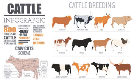 jersey cattle: Cattle breeding farming infographic template. Flat design. Vector illustration Illustration