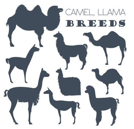 llama: Camel, llama, guanaco, alpaca breeds icon set. Animal farming. Flat design. Vector illustration Illustration